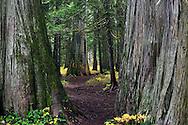 Ross Creek Cedars in the Kootenai National Forest. Northwest Montana