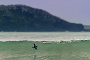 A Blue Penguin swims out amongst a breaking wave, at Porpoise Bay, Catlins, New Zealand.