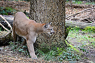Mountain Lion, Cougar, family Felidae, Puma, Panther, Felis concolor