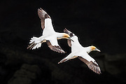 A pair of beautiful Australasian gannets soar along the cliffs at Muriwai, New Zealand.