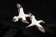 A pair of beautiful Australasian gannets soar along the cliffs at Muriwai, New Zealand.