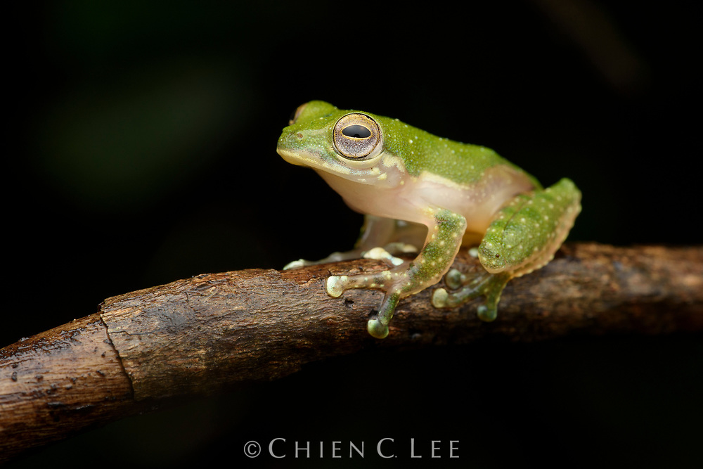 The dainty White-eared Tree Frog (Feihyla kajau) is endemic to the rainforests of Borneo. Sarawak, Malaysia.