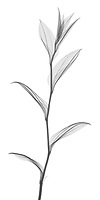 X-ray image of a Korean fairy bells stalk (Disporum uniflorum, black on white) by Jim Wehtje, specialist in x-ray art and design images.