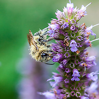 Closeup of a bumblebee covered in pollen on Anise Hyssop (Agastache foeniculum)