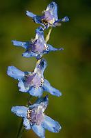 Prairie Larkspur, (Delphinium carolinianum), Houston County, TX