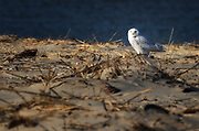 Snow Owl on Fowler Beach, Milford, Delaware<br />