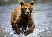 USA, Alaska, Tongass National Forest, Brown (Grizzly) Bear cub (Ursus arctos) running through stream while fishing for spawning salmon along Pybus Bay. DM