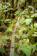 MOLOKAI, HI - Boardwalk, ferns and moss covered trees of the Pepeopae Bog in the Kamakou Nature Preserve on Molokai, Hawaii. The hiking trail in the preserve is built out of 2x4 boards and corrugated metal to keep hikers from damaging the fragile bog ecosystem that lives in this part of the island.  The rain forest of Kamakou Preserve lies near the summit of Molokai's highest mountain. Here you will find more than 250 species of Hawaiian plants - at least 219 of which can be found nowhere else in the world.