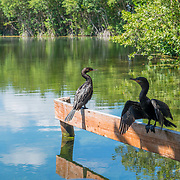 Anhingas drying up in the sun. Banyan Tree Mayakoba. Riviera Maya. Quintana Roo, Mexico.