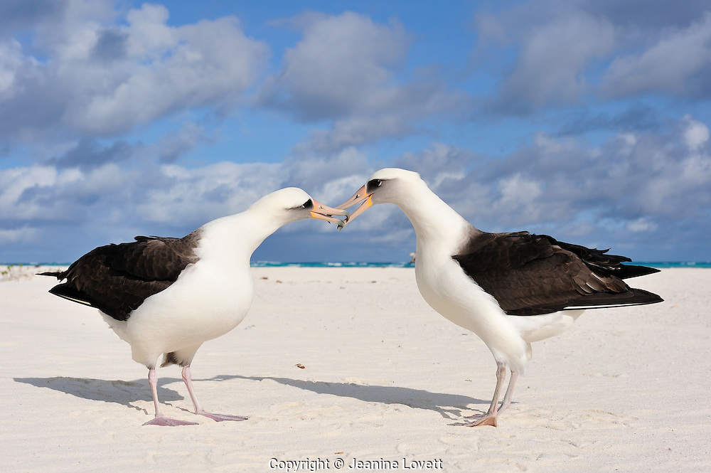Layson Albrotross touch beaks as they do their courtship dance.