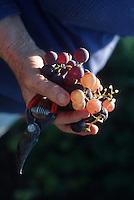 grape harvest at  vendange - Chateau St Martin, .the Var, Provence, France..� Owen Franken