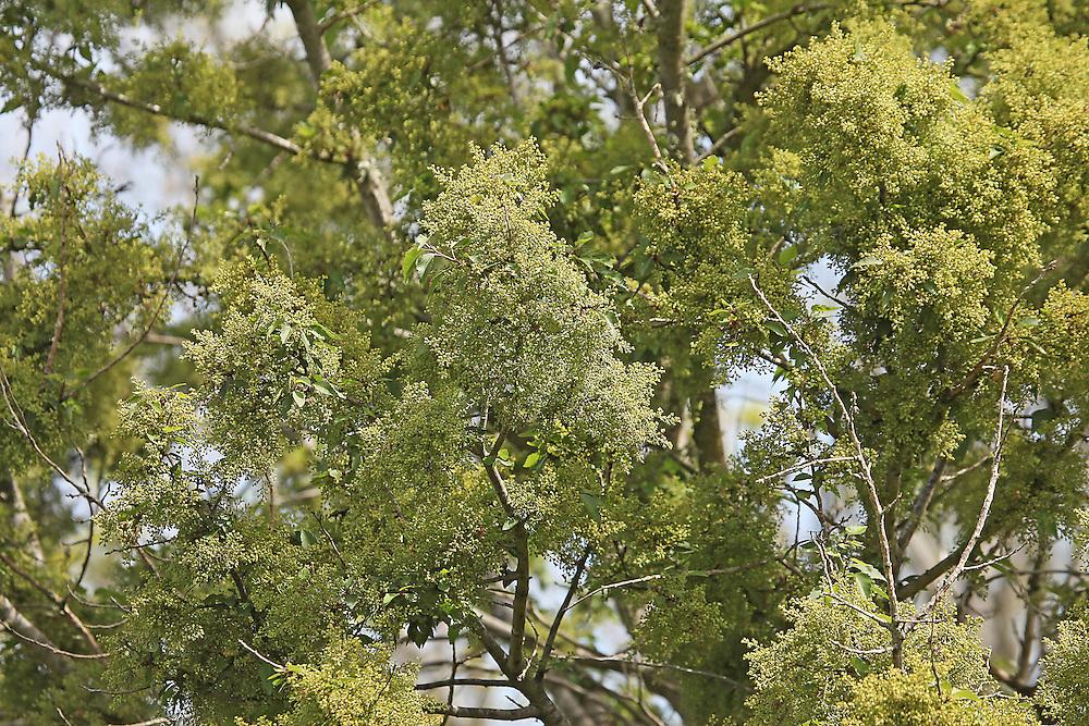 Ribbonwood trees in flower, Christchurch, New Zealand, Friday, 06 November, 2015. Credit: SNPA / Pam Carmichael