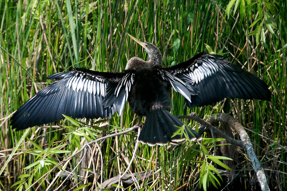 Anhinga drying out wings in Everglades National Park, Florida, USA