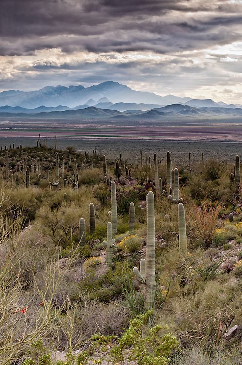 A storm brews in the background, coloring a lush Sonoran Desert landscape from spring rains.  This photo is facing west in the Saguaro National Monument, Tucson, Arizona