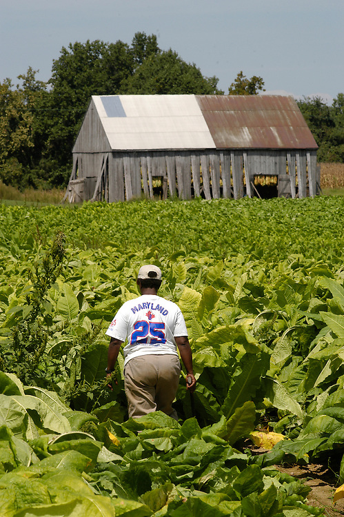 Woman harvesting tobacco on farm in southern Maryland