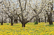 Blossoming Pear orchards with wildflower ground cover, near Odell, Oregon