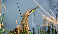 The American bittern is a species of wading bird in the heron family of the Pelican order of bird. It has a Nearctic distribution, breeding in Canada and the northern and central parts of the United States