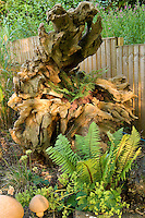 decaying tree stump used as a fernery