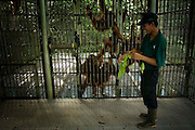The FZS worker giving some leaf that grow inside the forest for Orang Utan inside center of reintroduction at Sungai Pengian station, jambi Indonesia. Orang Utan is one of endangered animal that live in Indonesia and Malaysia forest. Their DNA is 97% same like human