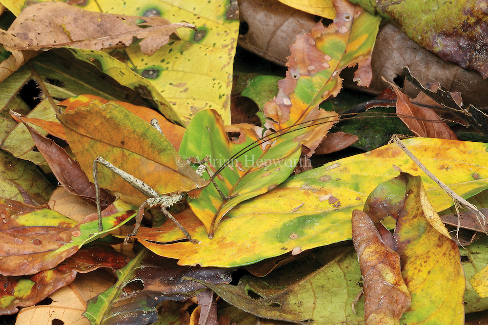 The Leaf-mimic Katydid possesses an elaborate camouflage; its body not only mimics the color and shape of a fallen leaf, but also finer details such as leaf veins and patches of fungal growth. I spotted this katydid while I was sitting down next to a rainforest trail to eat a snack. Often in the jungle you see more animals when you just sit down and observe.<br />