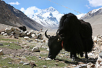 A yak grazes at the base of Mt. Everest, part of the Himalayan mountain range, in Tibet, in western China. (Photo/Scott Dalton)