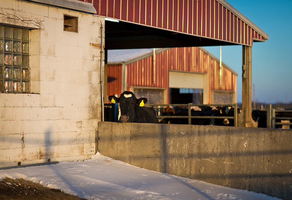 ELDORADO, WI – FEBRUARY 2: A cow glances into the sunset outside the milking parlor at Vision Aire Farms on February 2, 2017.