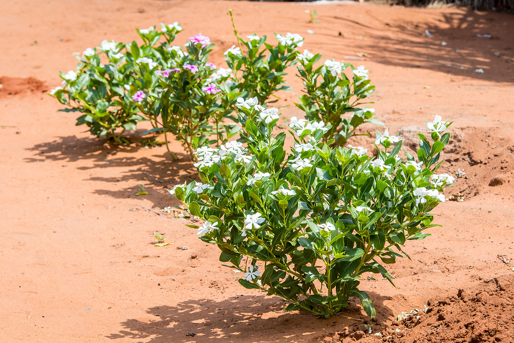 Small bush with blooming white flowers, Mukuni Village, Zambia