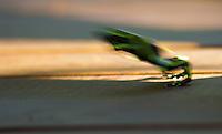 Green and black poison dart frog leaping at Lapa Rios Ecolodge, Osa Peninsula, Costa Rica
