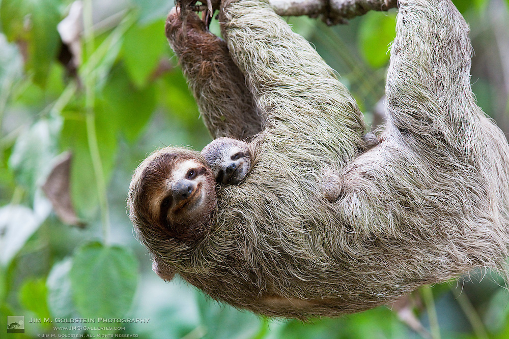 Close up of a Brown-throated Sloth and her baby hanging from a tree branch in Corcovado National Park, Costa Rica