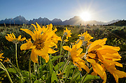 Arrowleaf Balsamroot (Balsamorhiza sagittata) blooming in Grand Teton National Park, Wyoming