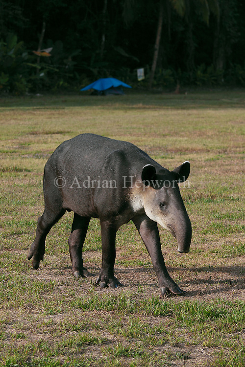 Baird&rsquo;s Tapir (Tapirus bairdii) walking past tent. Corcovado National Park, Osa Peninsula, Costa Rica. <br />