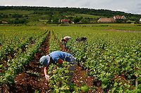 .vineyards  in Chassagne-Montrachet, , Burgundy..the women pruning shoots..Photo by Owen Franken for the NY Times..May 27, 2008.
