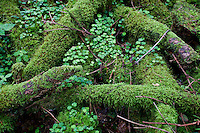 Close-up of mossy logs and clover on the forest floor.