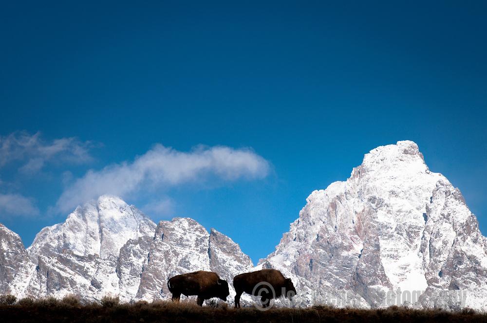 Bison graze along a ridgeline in Grand Teton National Park, Jackson Hole, Wyoming.