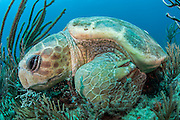 A Loggerhead Sea Turtle, Caretta caretta, sleeps on the coral reef in Palm Beach, Florida, United States