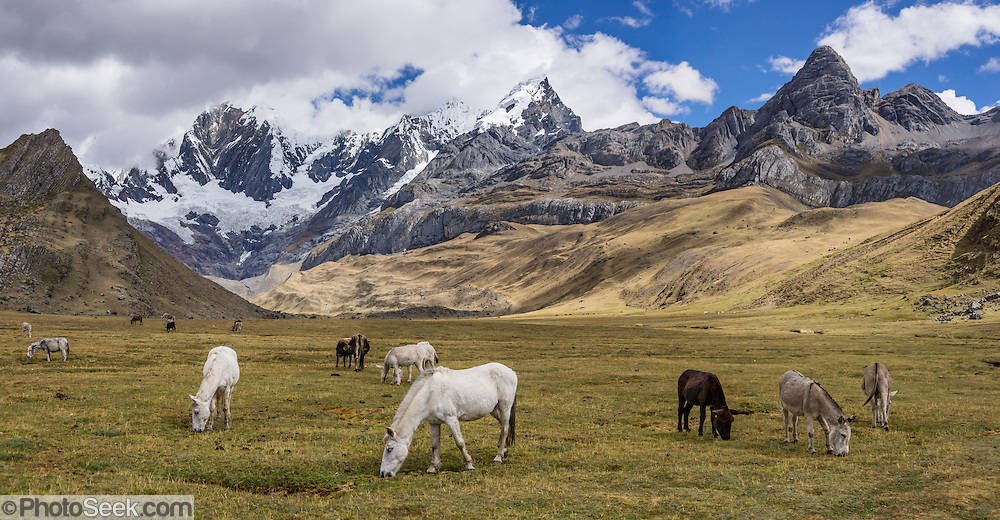 """Horses and donkeys graze at Tuctucpampa campground below Nevado Jirishanca (left, """"Icy Beak of the Hummingbird"""" 6094 m), Rondoy (right 5870 m). Day 1 of 9 days trekking around the Cordillera Huayhuash, Andes Mountains, Peru, South America. This panorama was stitched from 2 overlapping photos."""