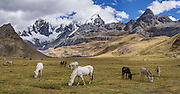 "Horses and donkeys graze at Tuctucpampa campground below Nevado Jirishanca (left, ""Icy Beak of the Hummingbird"" 6094 m), Rondoy (right 5870 m). Day 1 of 9 days trekking around the Cordillera Huayhuash, Andes Mountains, Peru, South America. This panorama was stitched from 2 overlapping photos."