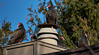 Five Turkey Vultures Warming on a Neighbor's Roof. Winter Backyard Nature in New Jersey. Image taken with a Fuji X-T2 camera and 100-400 mm OIS lens (ISO 200, 400 mm, f/5.6, 1/1000 sec).