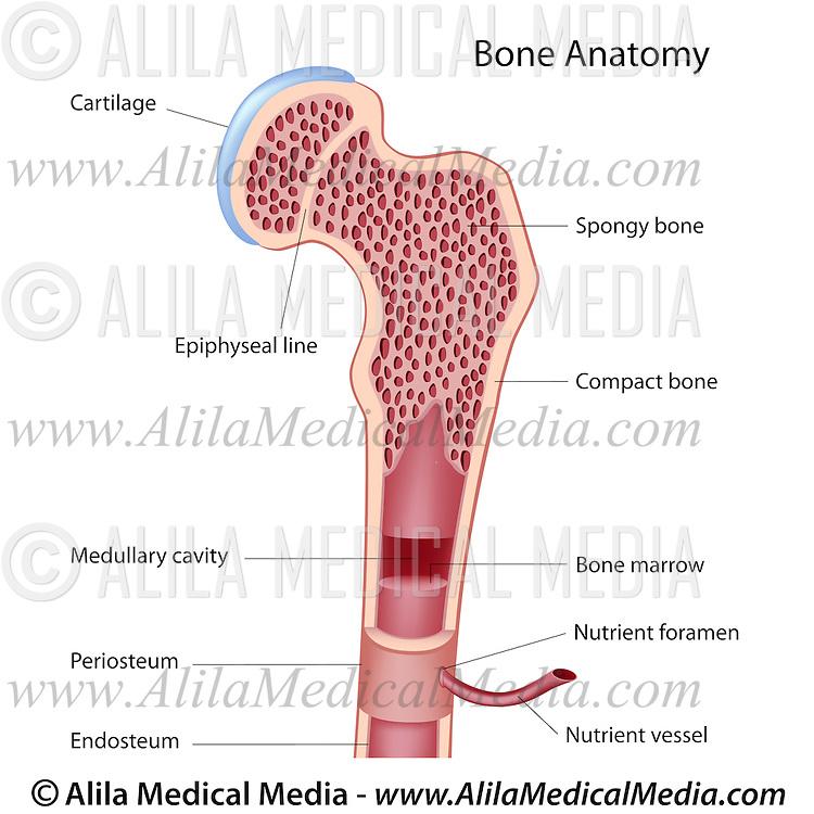 Bone Structure Alila Medical Images