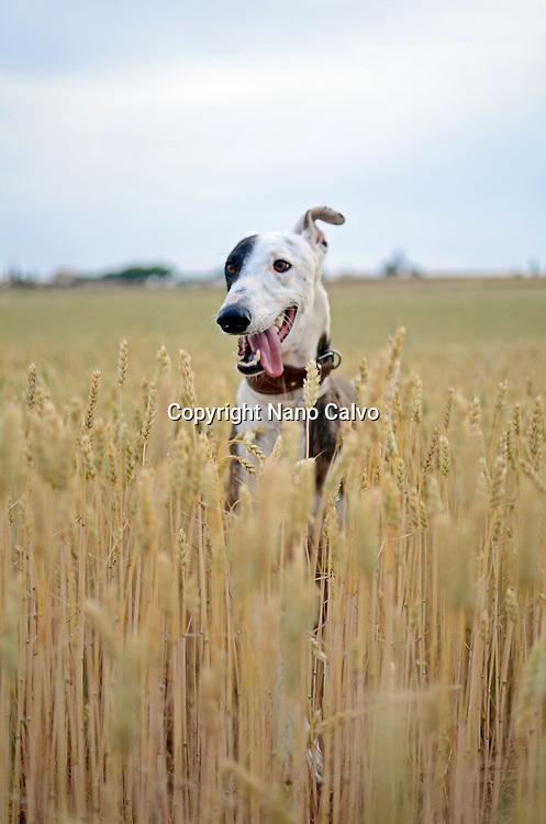 Beautiful Spanish greyhound in nature