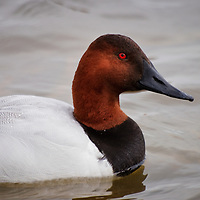 Portrait of a canvasback drake (Aythya valisineria) wintering on the Choptank River, Cambridge, Maryland