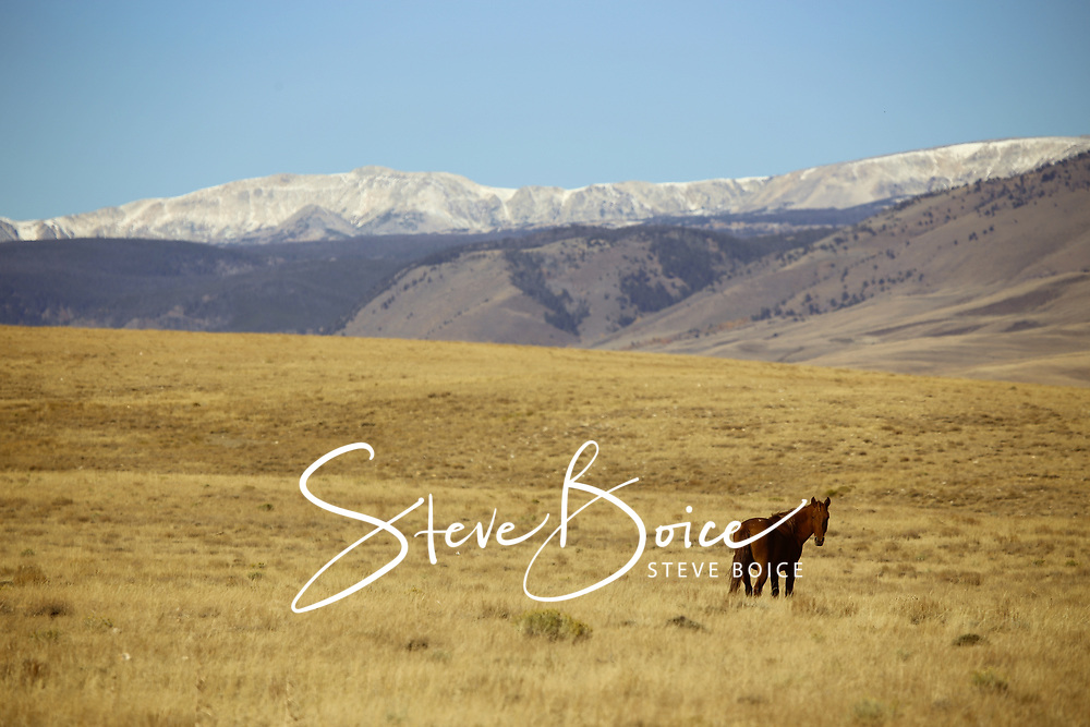 Wild horse in Wyoming with Medicine Bow Mountains in the background