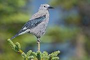 Clark's nutcracker (Nucifraga columbiana), E.C. Manning Provincial Park, British Columbia, Canada