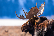 Big bull moose in great afternoon light in Grand Teton National Park