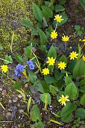 Ranunculus ficaria 'Brazen Hussy'  with pulmonaria at Glebe Cottage