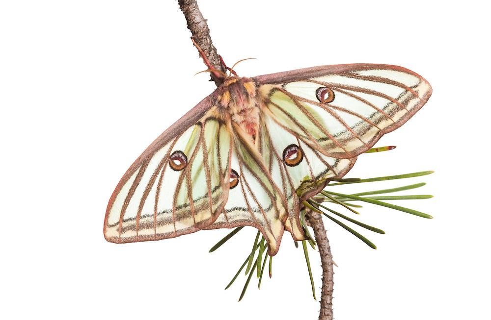 Female Isabelline moth, Spanish luna moth, Graellsia isabellina, Queyras, France, Europe