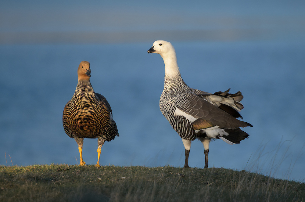 A couple of Upland Geese (Chloephaga picta)..Falkland Islands.Antarctica