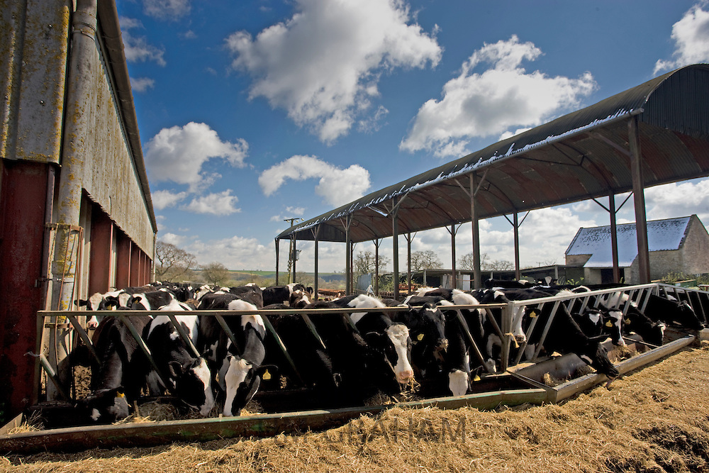 Cows feeding from trough in a cattle pen, Sherborne, Gloucestershire, United Kingdom