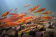 Mountain Redbelly Dace (with Saffron Shiners and Tennessee Shiners)<br />