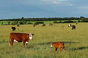Mutterkuh mit Kälbchen. Die Mutterkuh ist eine Angus-Kreuzung. Aufgenommen in der Halboffenen Weidelandschaft oder Hudelandschaft in Crawinkel, in der die Rinder in gemischten Herden mit Pferden grasen. | Cow (angus crossbreed) and calf. Horses and cattle are grazing in mixed herds on the fields in Crawinkel.
